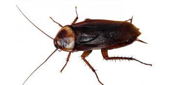 Avustralya Hamam Böceği