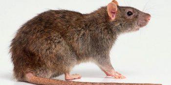 Rattus norvegicus (Lağım Sıçanı)