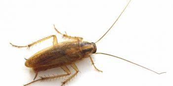 Kahverengi Böcek İlaçlama